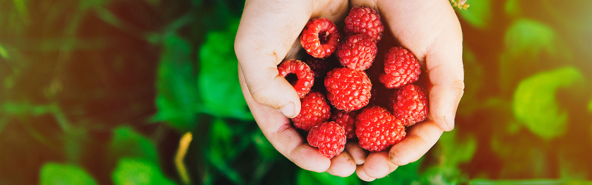Close up of hands holding raspberries.